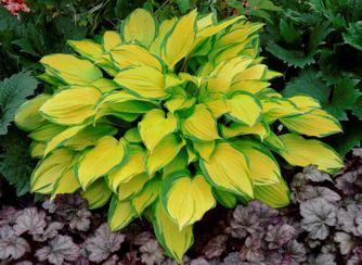 Ahga Hosta Of The Year